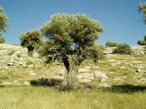 Like an olive tree