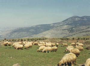 sheep in Israel