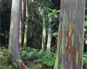 Rainbow Eucalyptus Grove by Todd Maurer